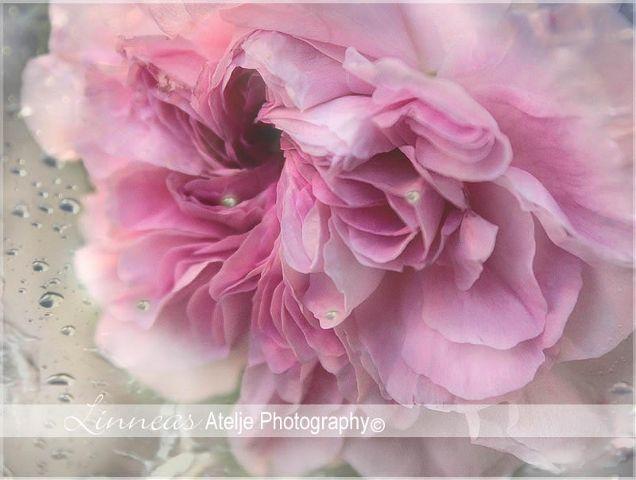roses interesting art pink nature