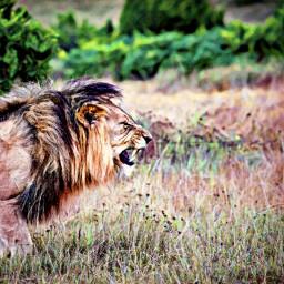 freetoedit lion color