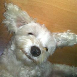 FreeToEdit dog oldphoto malteser funny