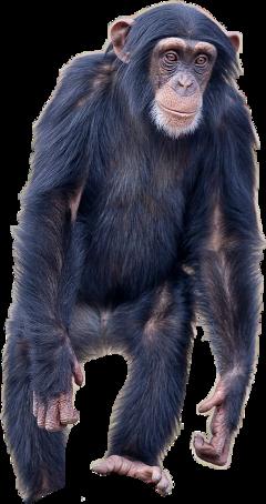 ftestickers monkey chimpanzee freetoedit