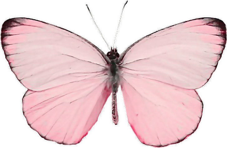 #butterfly#kawaii#tumblr#animal#bug#beautiful #nature#pink#candypink