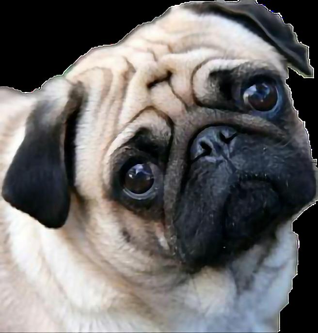 Pug Tierno Sticker By Clauu Annette Ruby