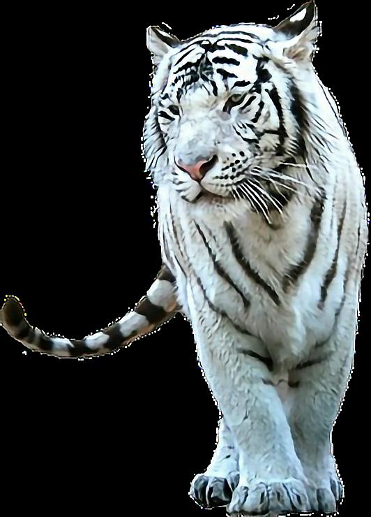 #tiger #freetoedit