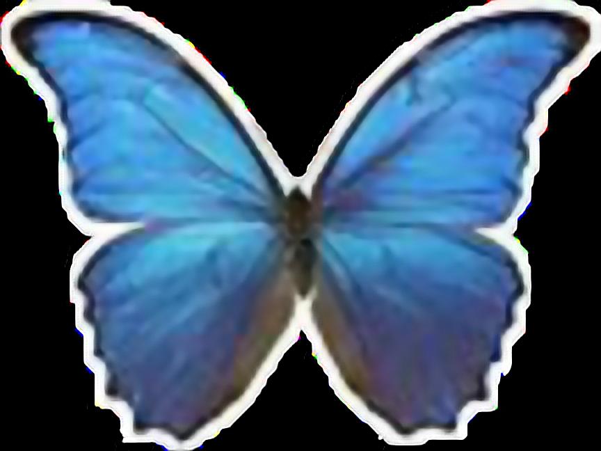 Morphomenelausdidius Butterfly Blue Papillon Bleu Freet